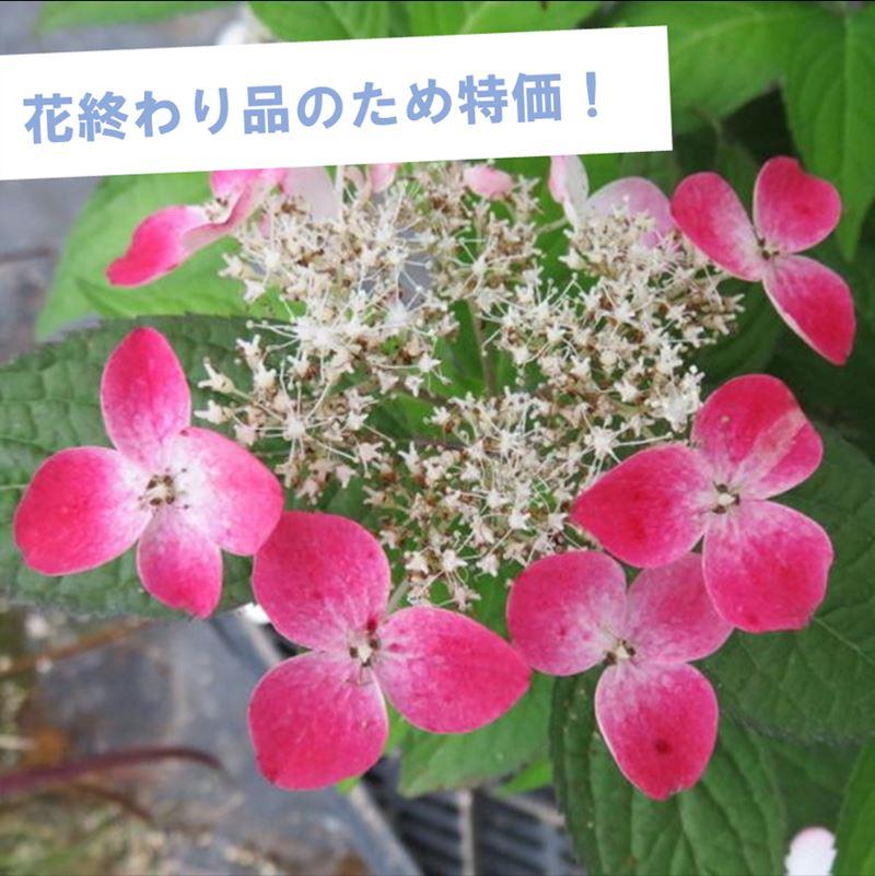 【特価!花終わり品】ヤマアジサイ 紅(クレナイ)