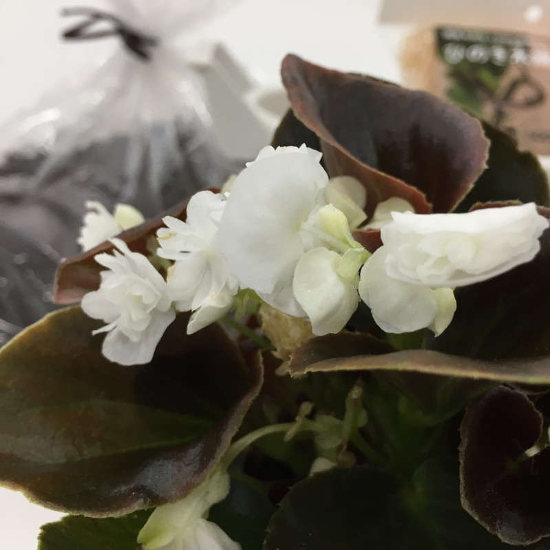 あっという間に直径40cm 桐生ふぁーむの ベゴニアダブレット ホワイト 栽培セット ※お届けまでに10日程度頂戴することがございます。