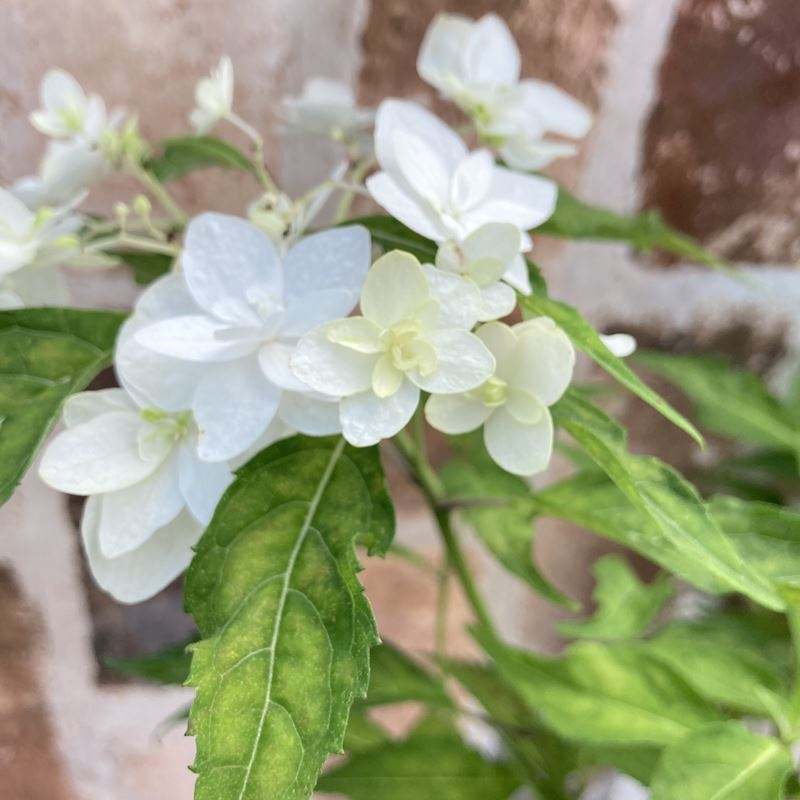 【特価!花終わり品】ヤマアジサイ 白富士