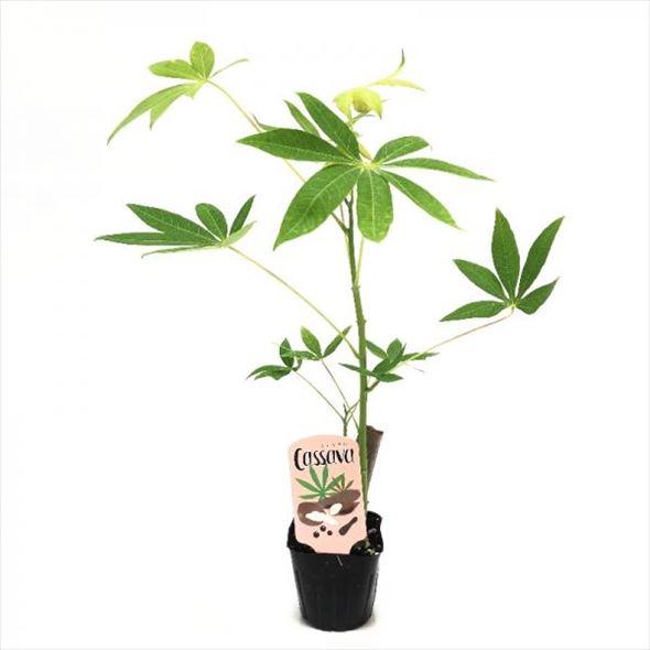 タピオカの原料! キャッサバの苗 3.5号ポット苗 ※食用種で毒性がほとんどない品種