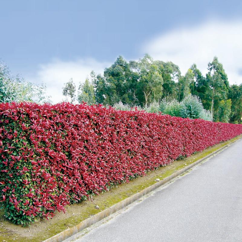 三重カナメ 3.5号 20鉢セット ※約6〜8m幅の垣根を作れます。