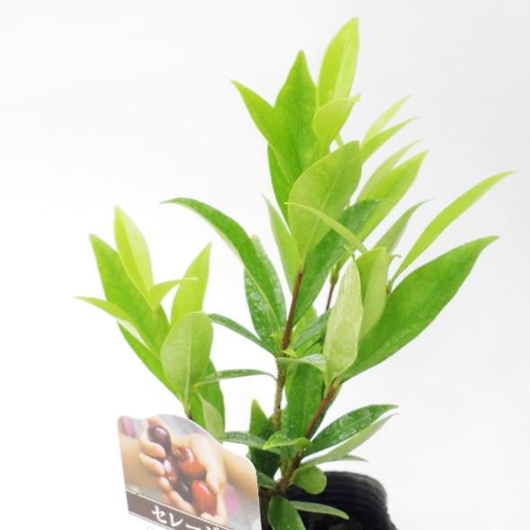 ブラジルの木いちご セレージャ(-9℃でも大丈夫) 3号ポット苗