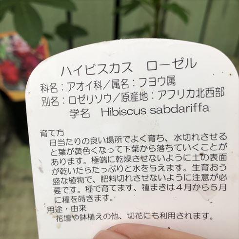 ハイビスカスティーの原料!ハイビスカス ローゼル 3号×3ポットセット (PA)