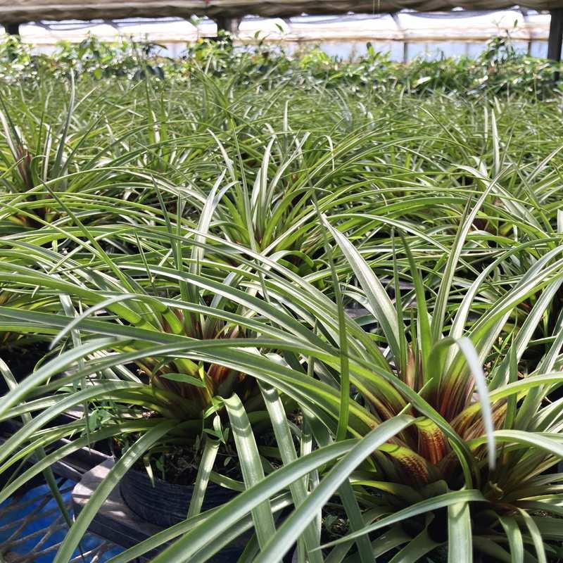 常夏のお花をおうちで咲かせよう! チランジア キアネア 花付き苗 鉢カバーセット [TK] ※お届けまで最大10日程度。