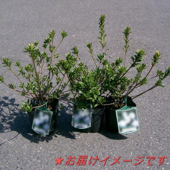 ツツジ 平戸ツツジ 紫八重 × 3株セット