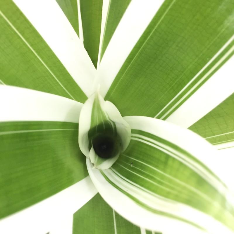 くっきりと美しい葉 フリーセア 江(ごう) 鉢カバー・ストライプ [TK] ※お届けまで最大10日程度。