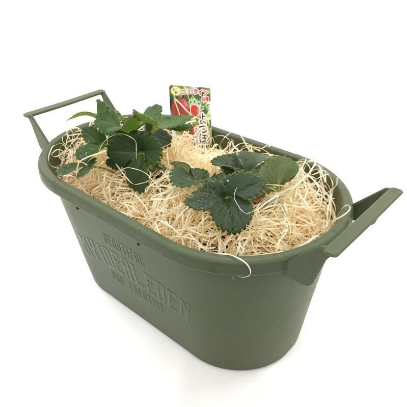 リニューアルオープン記念! 四季なりイチゴ(よつぼしイチゴ)の栽培セット ※お届けまでに10日程度頂戴することがございます。
