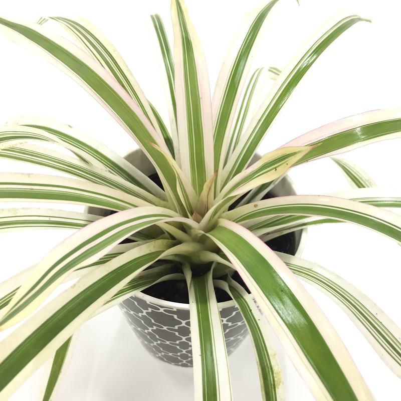 白い斑が輝くように グズマニア ロイヤルシルバー 鉢カバー・グレー [TK] ※お届けまで最大10日程度。