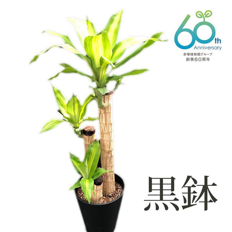 創業60周年記念 幸福の木(ドラセナ・マッサンゲアナ) 6号鉢 高さ60cm(鉢色、白と黒のいずれか選べます)