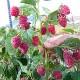 育てやすい果樹 ラズベリー ポラナ