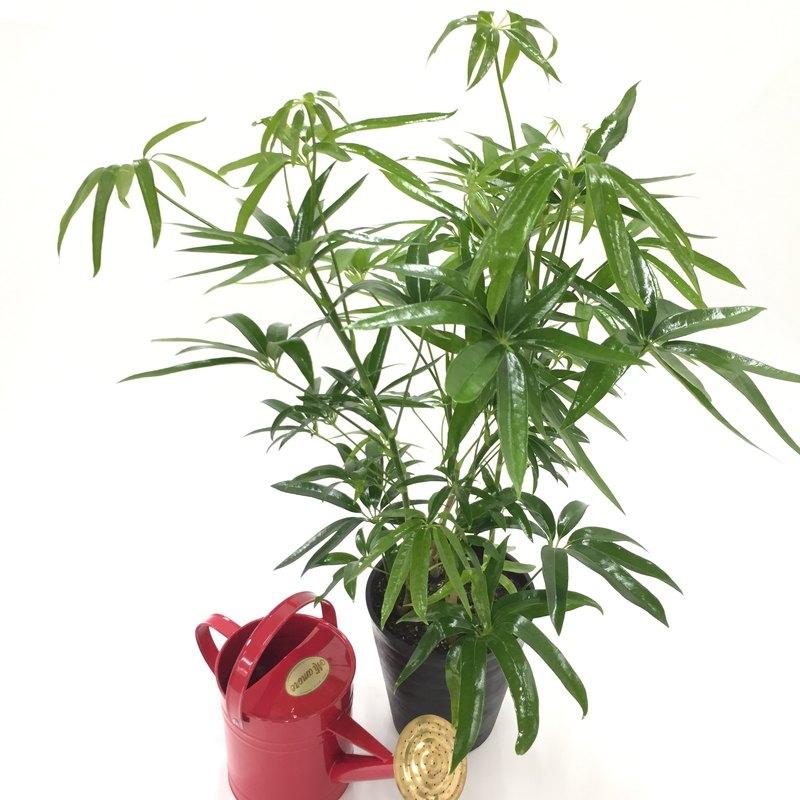 和にも洋にも良く似合う観葉植物 シェフレラ アンガスティフォリア 7号 [TK] ※お届けまで最大10日程度。