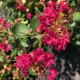 7回も!!繰り返し咲く花あふれる サルスベリ WithLove チェリー 8〜9号鉢植え ※7月中旬以降の発送  (OR)