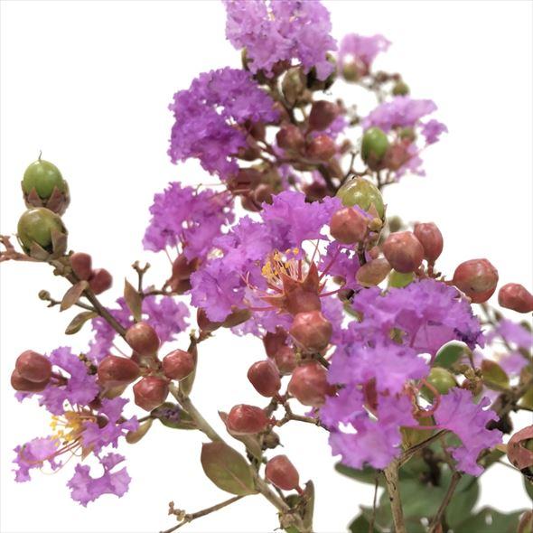7回も!!繰り返し咲く花あふれる サルスベリ WithLove エターナル 8〜9号 鉢植え ※6月中旬以降のお届け (OR)