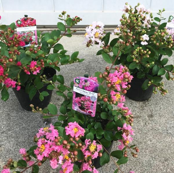 7回も!!繰り返し咲く花あふれる サルスベリ WithLove エターナル 8〜9号鉢植え  ※お届けに10日程度かかる場合がございます。 (OR)