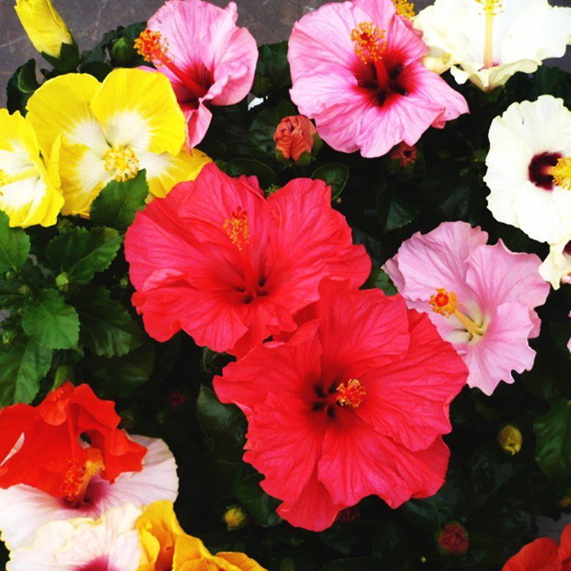 チャイナローズ・アジアの風 セレブレートサマー | ハイビスカス ※5月中旬以降お届け