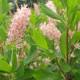 蜂殺しの異名を持つ蜜源植物! アメリカリョウブ ピンクスパイヤー 4.5号
