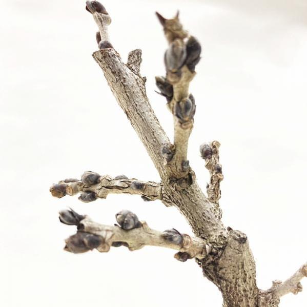 一才フジ 5号 ※4月中旬以降は開花中もしくは剪定済みの株