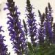 リニューアルオープン記念!11月まで咲く!桐生ふぁーむの 宿根サルビア ボルドー栽培セット ※お届けまでに10日程度頂戴することがございます。