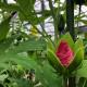 日本最大級の食べられる花 エディブルタイタンビカス つぼみ 7個入りセット ※お届け地域限定商品