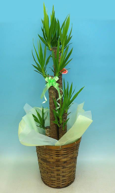 産地直送 観葉植物 10000円