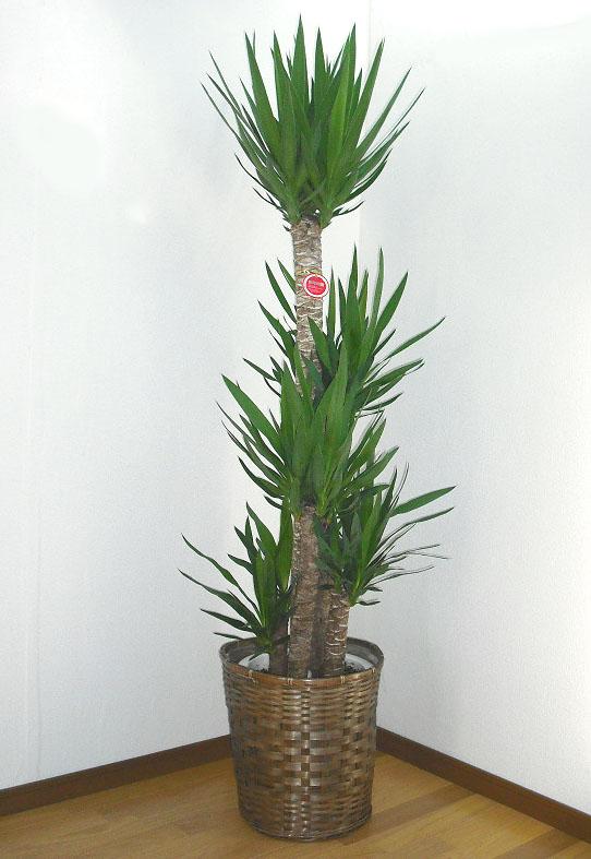 産地直送 観葉植物 17000円