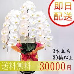 胡蝶蘭 3本立ち 30輪以上 【白】