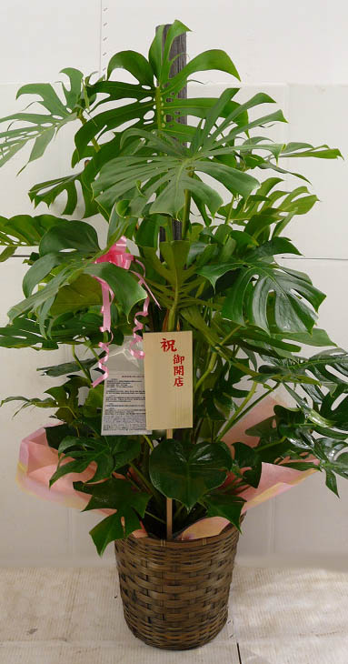 産地直送 観葉植物 19000円