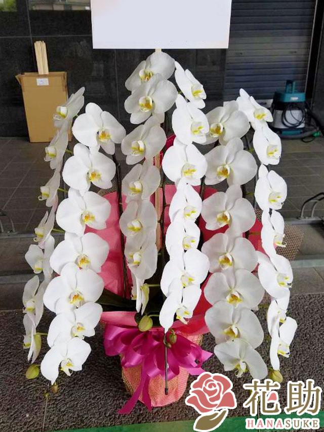 胡蝶蘭 3本立ち 35輪以上 【白】