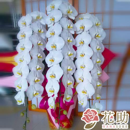 胡蝶蘭 3本立ち 40輪以上 【白】