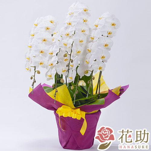 胡蝶蘭 5本立ち 50輪以上 【白】