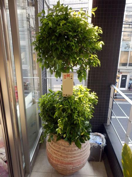 観葉植物 40000円