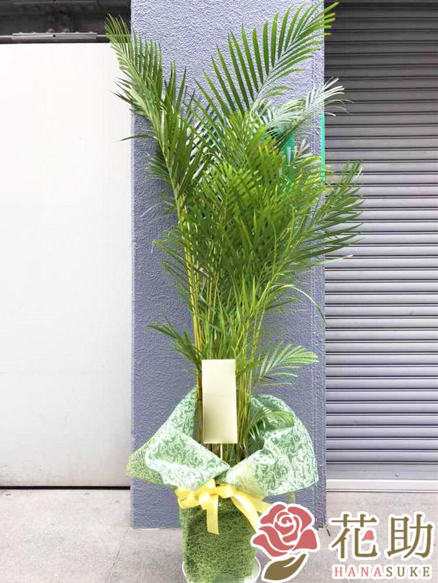 観葉植物【アレカヤシ】 15000円