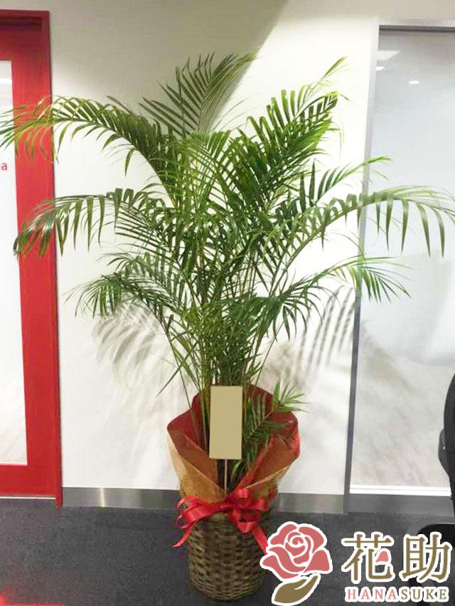 【おしゃれな鉢カバー付き】観葉植物【アレカヤシ】 18000円