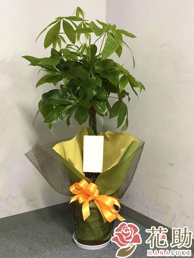 観葉植物【パキラ】 10000円