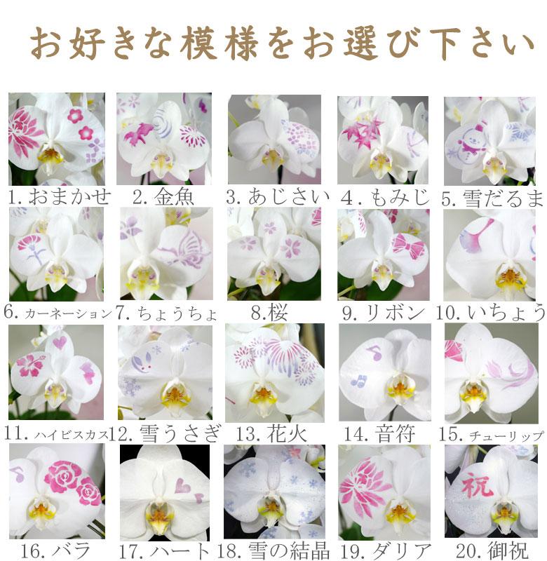 ミディー胡蝶蘭 3本立ち 化粧蘭
