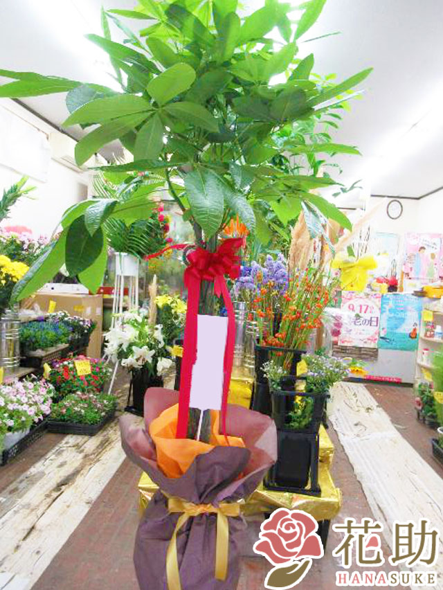 観葉植物【パキラ】 15000円