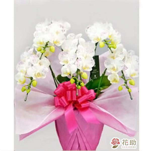 ミディー胡蝶蘭 5本立ち 化粧蘭