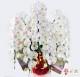 大輪胡蝶蘭 5本立ち 化粧蘭