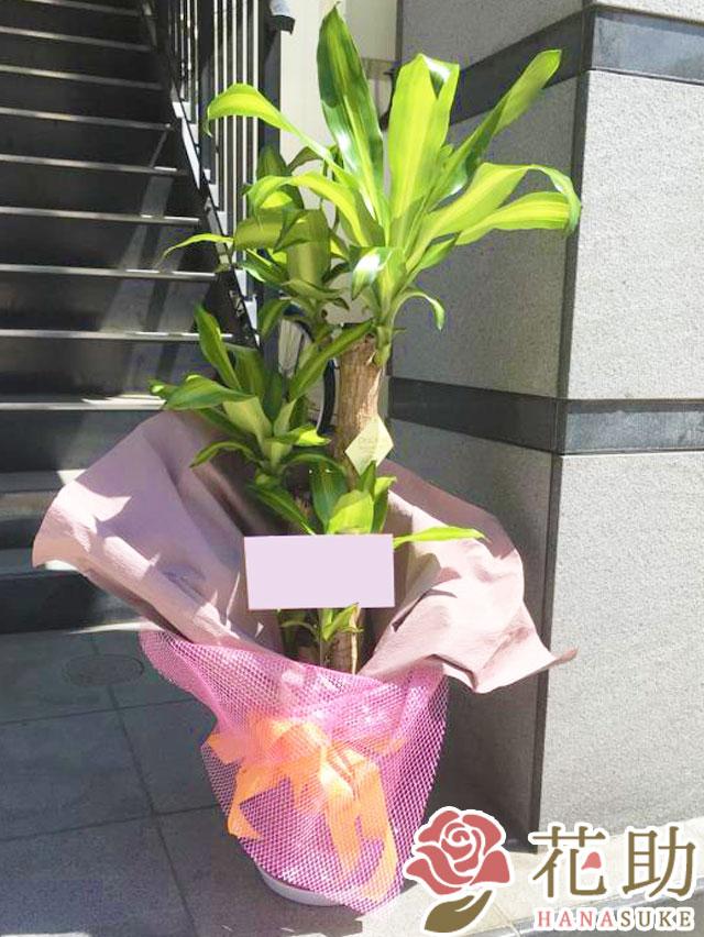 観葉植物【マッサン】 10000円