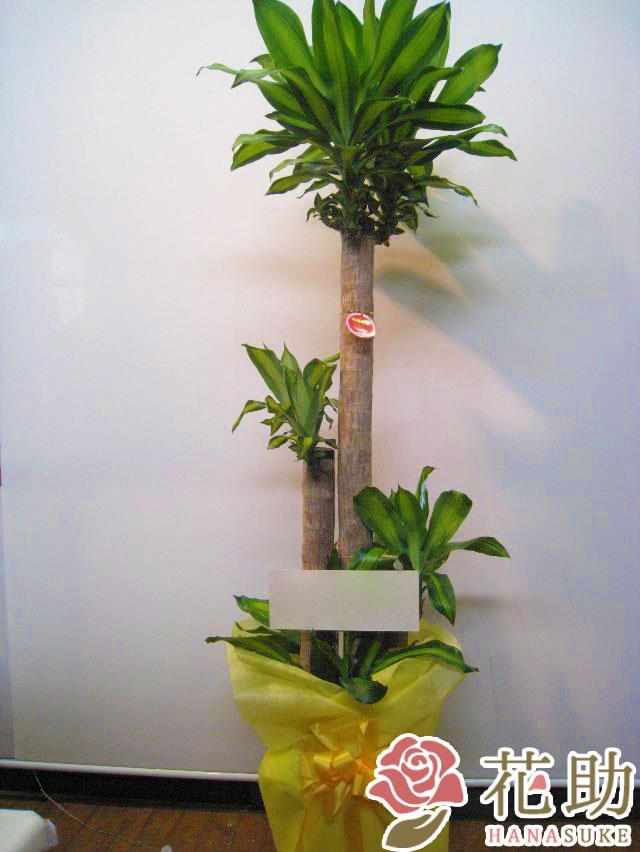 観葉植物【マッサン】 15000円
