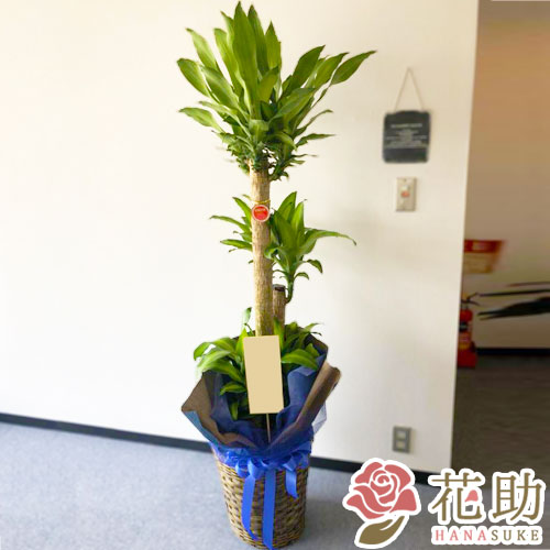【おしゃれな鉢カバー付き】観葉植物【マッサン】 18000円
