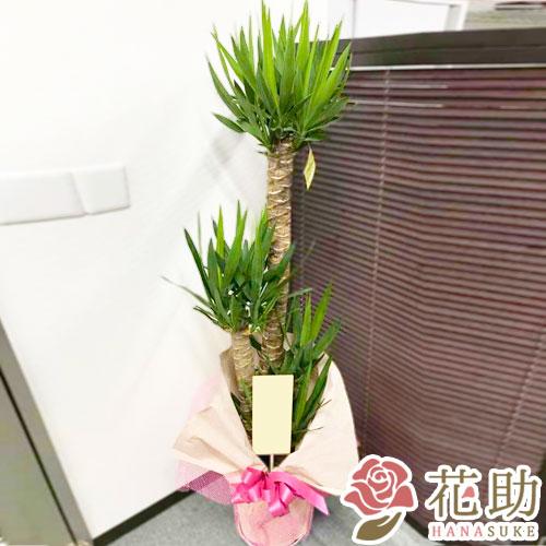 観葉植物【ユッカ】 15000円