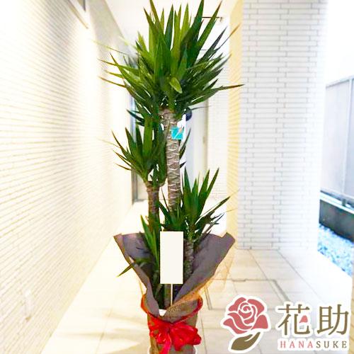 観葉植物【ユッカ】 20000円