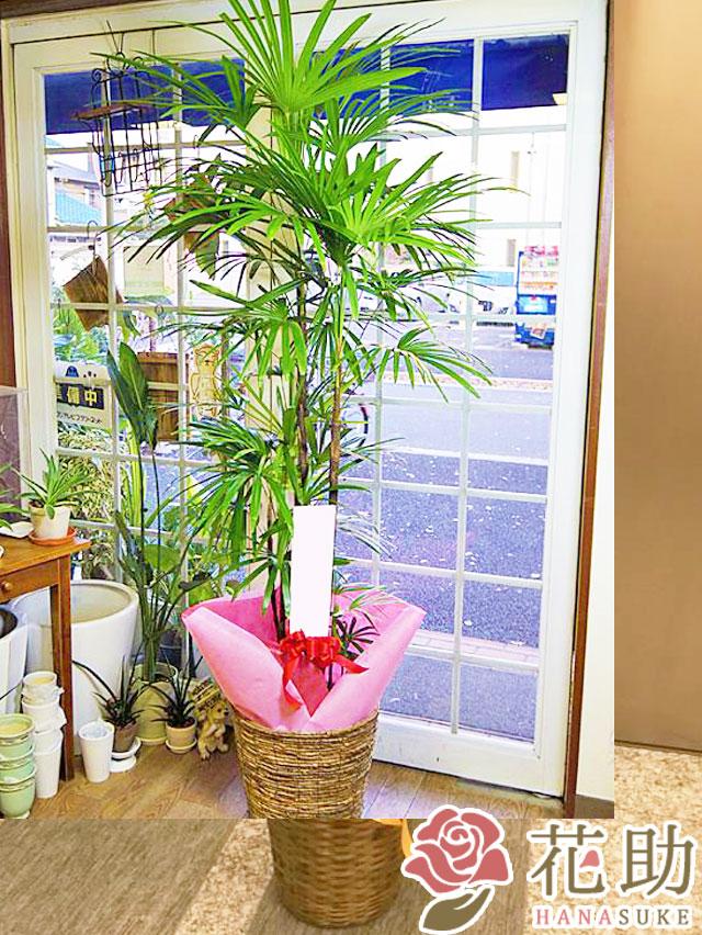 【おしゃれな鉢カバー付き】観葉植物 18000円