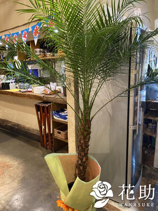 観葉植物【フェニックス・ロべ】 17000円
