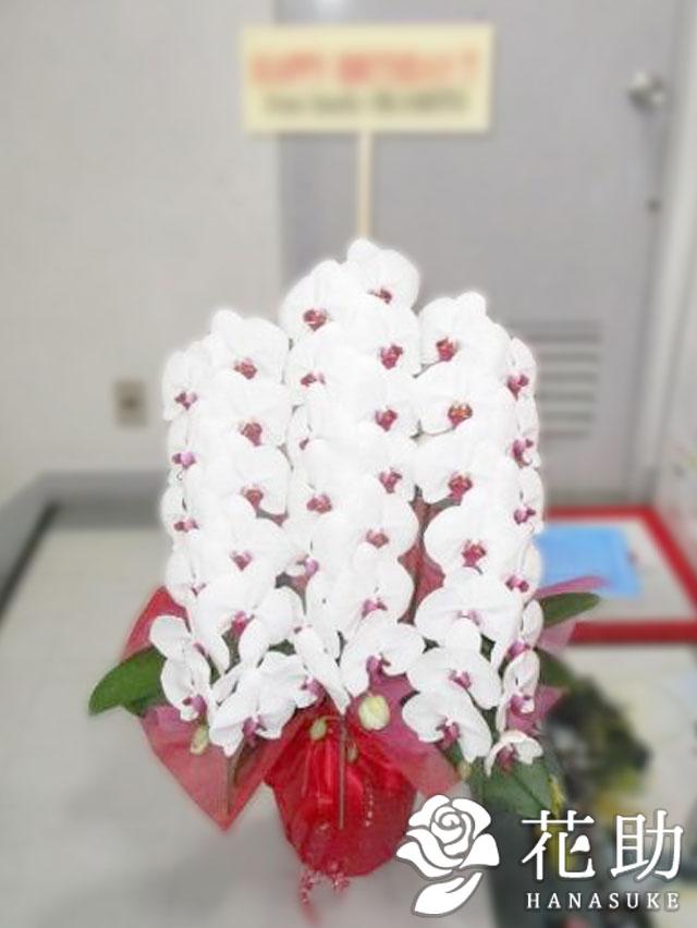 胡蝶蘭 3本立ち 27輪以上 【赤リップ】