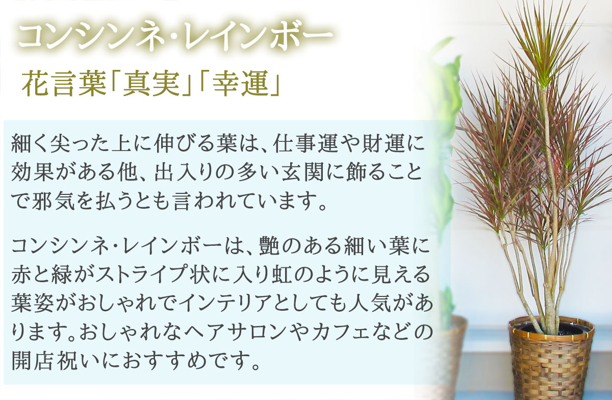 【おしゃれな鉢カバー付き】観葉植物【コンシンネ・レインボー】 20000円