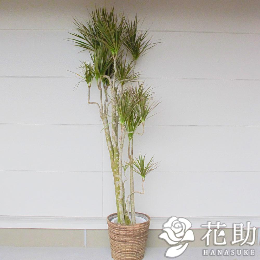 かご入り観葉植物【コンシンネ・トリカラー】 20000円