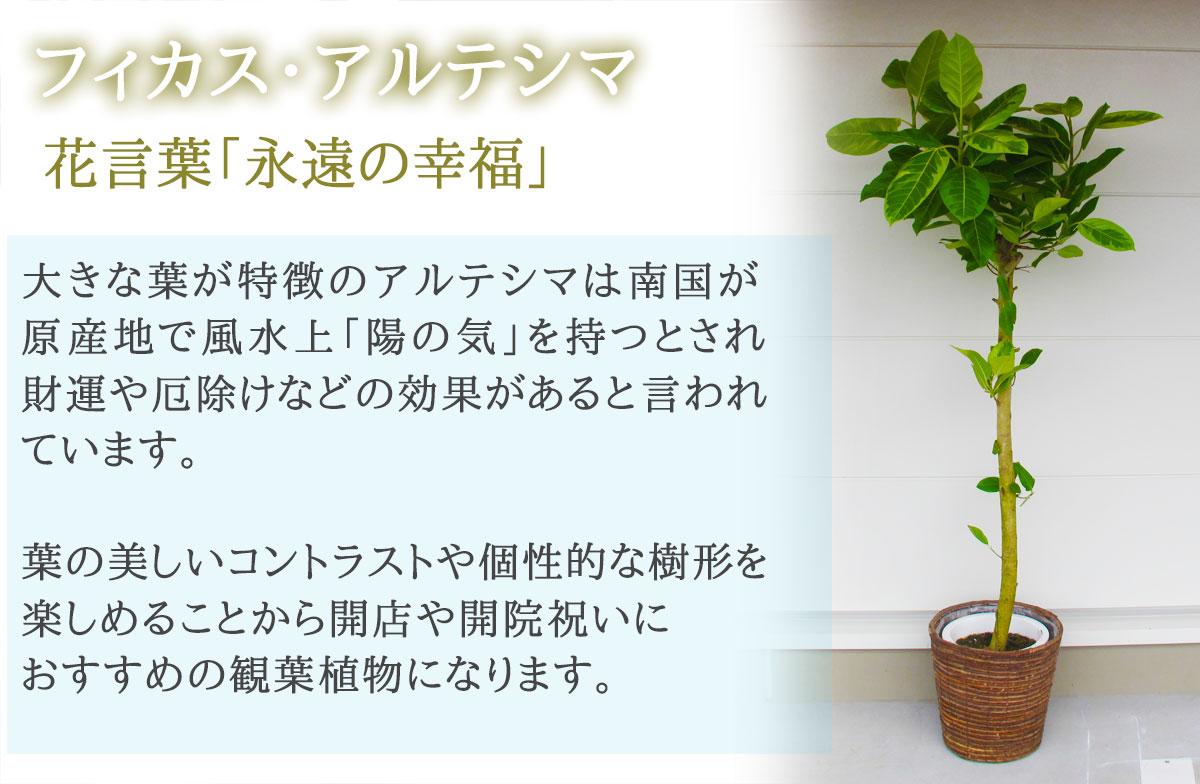 【おしゃれな鉢カバー付き】観葉植物【フィカス・アルテシマ】 20000円