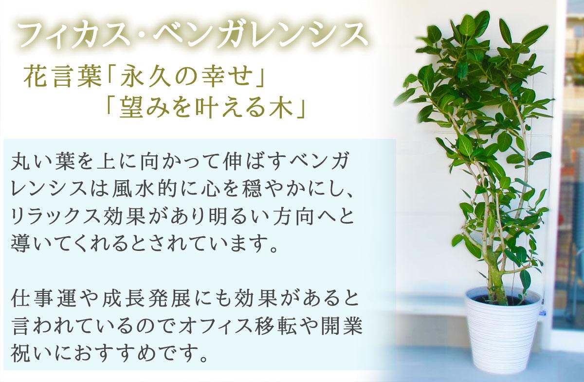 【おしゃれな鉢カバー付き】観葉植物【フィカス・ベンガレンシス】 20000円